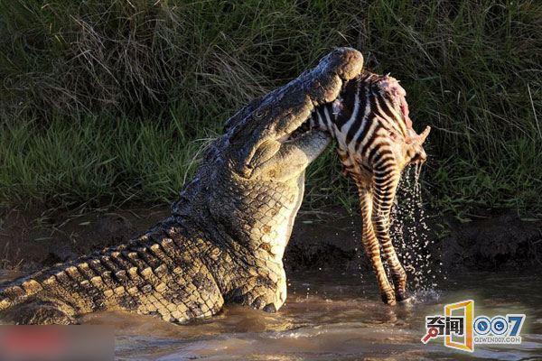 拍照被鳄鱼吃视频