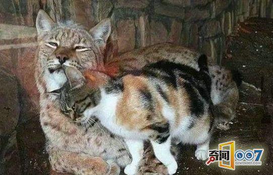 性格不合也可以做好朋友的。充满攻击性的山猫和温驯的家猫,两只性格截然不同的动物,竟然可以做好朋友?看下去你就知道了~   一只普通的家猫,不知如何的潜入了圣彼得堡动物园的欧洲猞猁(又称山猫)的笼子里面,因山猫是肉食性动物,大家都认为家猫凶多吉少,事情的结果却出乎大家的意料。