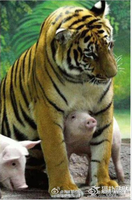 泰国一只母老虎丧仔 动物园用猪仔替代安慰