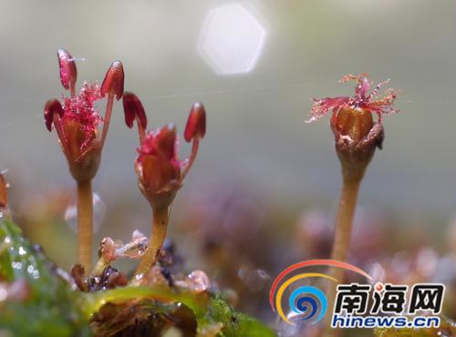 海南鹦哥岭保护区发现植物新种飞瀑草繁殖方式让人脑洞大开