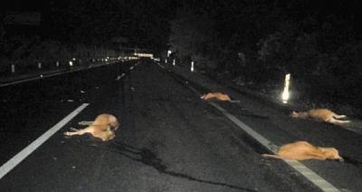 6头黄牛深夜G98高速公路被撞死 万宁交警呼吁车主自首