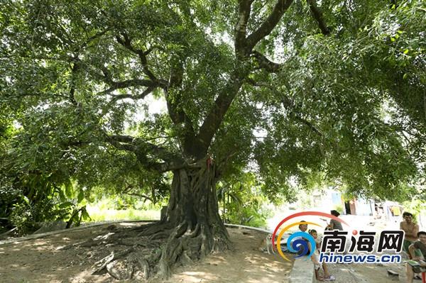 三亚启动第二次古树名木普查号召网友参与保护管理