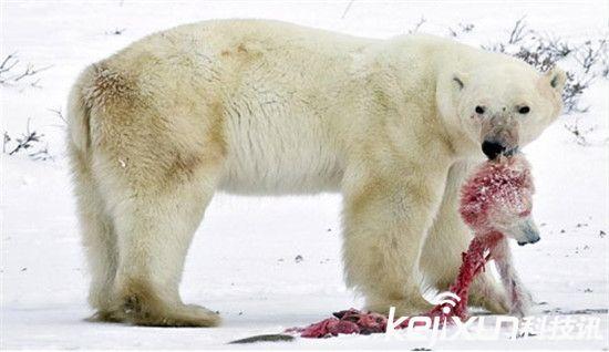 """全球变暖催生新物种 混血""""北极灰熊""""问世"""