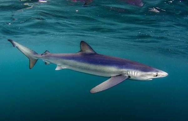 青鲨_金鲨银鲨_巨口鲨vs旋齿鲨图片