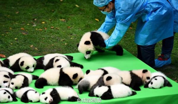 23只熊猫幼仔集体亮相