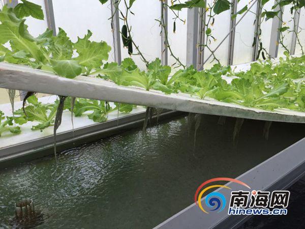 三沙永兴岛4个蔬菜大棚种植蔬菜