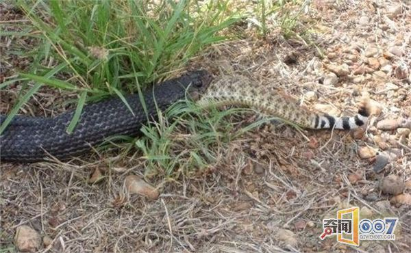 森林王蛇_森林王蛇吞食响尾蛇全过程:两蛇体积相当照样吞食-新闻中心