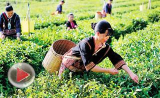 白沙有机茶叶合作社助力精准扶贫