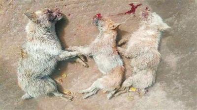 不过,4只元凶是否真是国家二级保护动物狼,当地林政部门人员表示尚待
