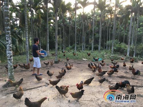 """<b>琼中鸭坡村""""第一书记""""秦家越带头当起""""鸡司令""""</b>"""