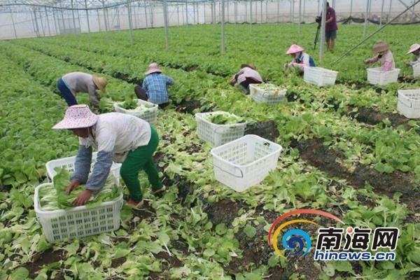 <b>海口龙华区干部群众及官兵抢收叶菜力争将损失降到最低</b>