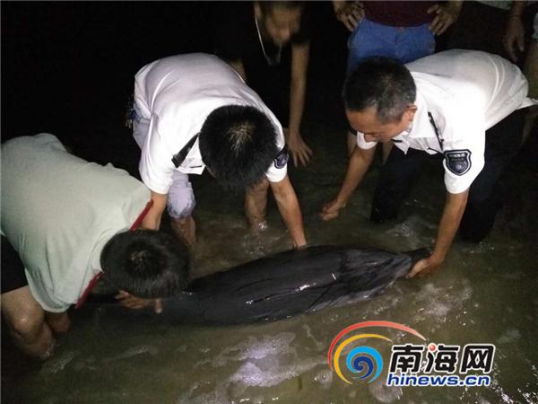 文昌清澜海滩发现一只搁浅海豚背部伤口溃烂已被救起