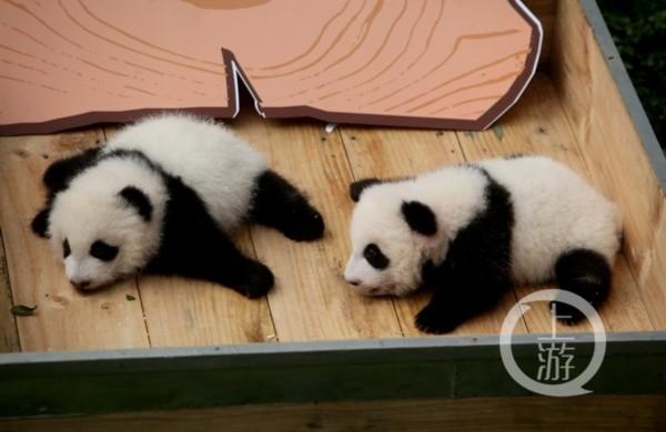 重庆动物园的大熊猫龙凤胎满百天了 萌萌哒