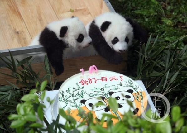 目前,两只大熊猫幼仔健康状况良好,大双体重达到5312克,小双体重达到4720克。因两只熊猫宝宝的需奶量越来越大,兰香的奶水已经不能完全满足两个宝宝的需要,工作人员先后于9月19日、29日开始分别为大双、小双进行人工补奶。