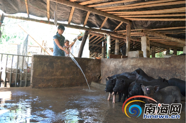 琼海水口仔村将倒伏胶树换槟榔推广养猪减少损失