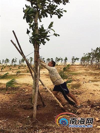 "<b>三沙干群反复尝试种树不言弃为寻植树""良方""赴大漠</b>"