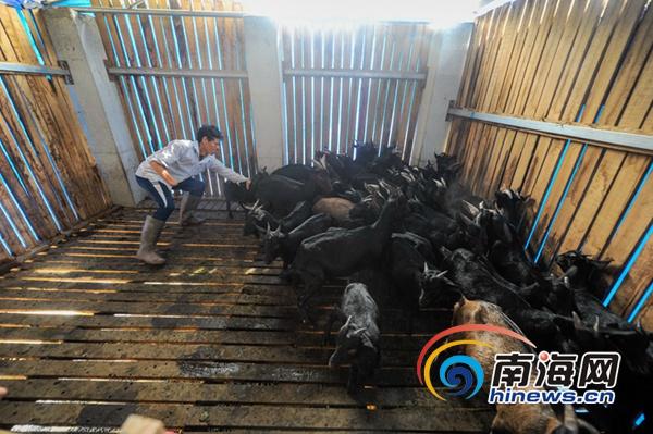 屯昌县坡心镇政府派人到贫困户家中讲解养羊方法
