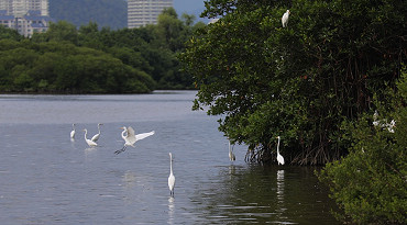 惬意冬日暖阳时 成群白鹭在三亚河中觅食[图]