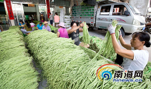 <b>三亚今冬首批冬种瓜菜上市100%持证出岛</b>