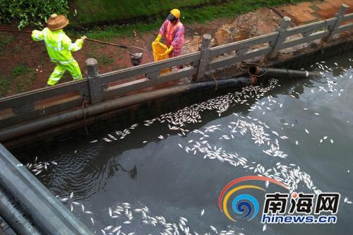 为何海口美舍河频现死鱼事件怀疑有人偷排污水