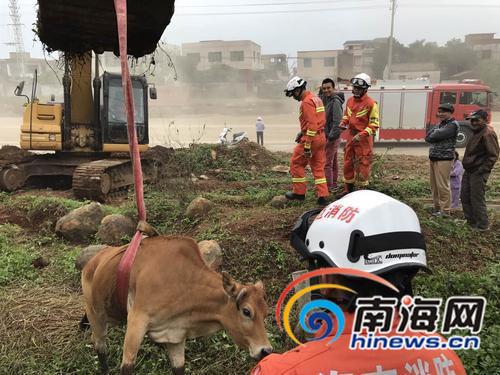 """<b>这么牛!澄迈300斤黄牛身陷水沟""""拒""""消防人员救援</b>"""