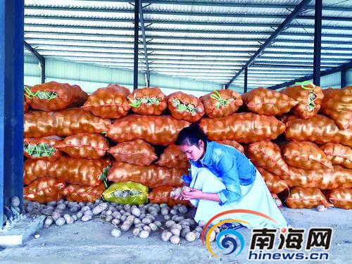 夫妻借款15万元收购60吨土豆 因品相难看卖不出去