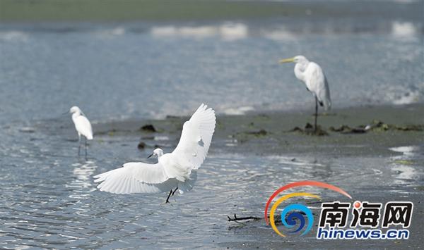 常见鸟类超过100种-三亚双修 生态修复持续努力 大量鸟类 游子 归来