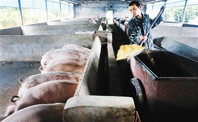 儋州生猪调出连续10年获国务院奖励