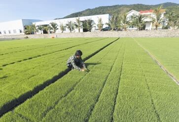 三亚早造水稻播种工作已全面展开