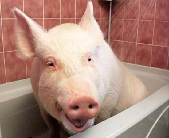 加夫妇养迷你宠物猪却不料长成大肥猪(组图)