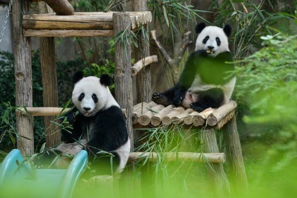 旅居国外的大熊猫卖萌拜年(组图)