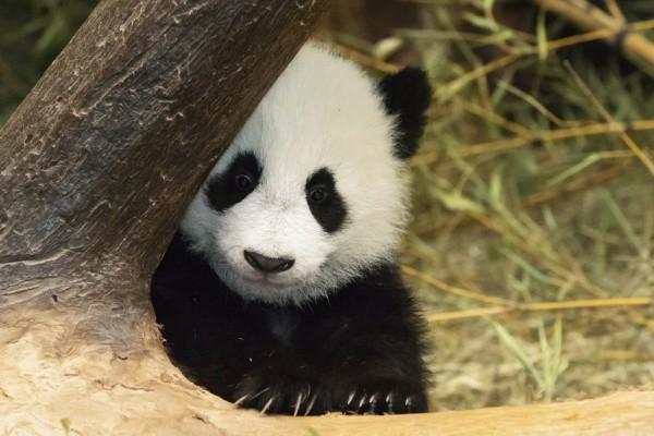 2016年11月7日,中国大熊猫保护研究中心旅居奥地利美泉宫动物园大熊猫双胞胎亮相卖萌迎新年。   近日,中国大熊猫保护研究中心举办熊猫拜年暨全球大熊猫迎新年活动,全球大熊猫宝宝通过各种形式给世界人民拜年。   组图为在当地时间1月6日,大熊猫阳阳和它的双胞胎宝宝福伴福凤首次亮相奥地利维也纳动物园,给全球人民拜年。
