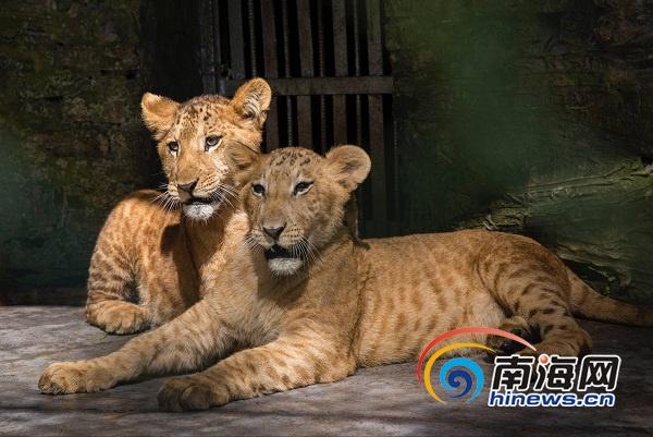 1月20日上午,两只活泼可爱的狮虎狮兽在海南热带野生动植物园与市民游客见面。海报集团全媒体记者宋国强摄    1月20日上午,两只活泼可爱的狮虎狮兽在海南热带野生动植物园与市民游客见面。海报集团全媒体记者宋国强摄   生下小狮虎狮兽后,园区饲养员发现丽丽母性很强,主动哺育这两只小家伙吃母乳和辅食。如今,这两只狮虎狮兽已有半岁,各方面状况良好而稳定。海南热带野生动植物园决定即日起公开展示这对狮虎狮兽,市民游客可在园区通过特别的方式观看。同时,也向社会征集名字。据了解,自然界中老虎与狮子各有天性,相互间