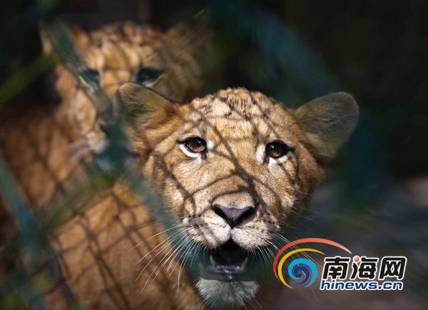 1月20日上午,两只活泼可爱的狮虎狮兽在海南热带野生动植物园与市民