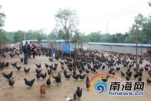 <b>借力互联网卖鸡蛋儋州贫困户养殖绿壳蛋鸡带动增收</b>