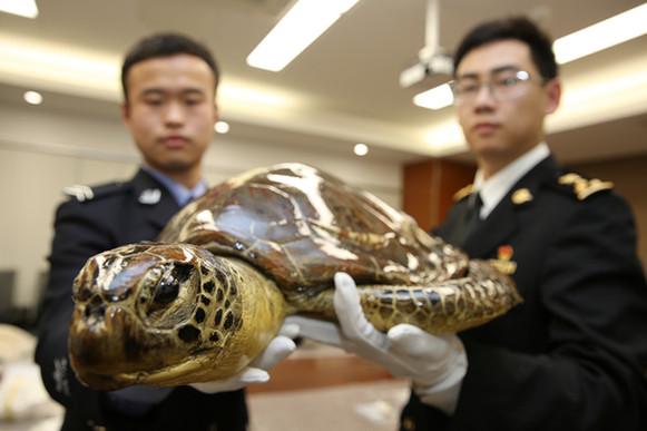 大连海关移交走私濒危野生动物制品