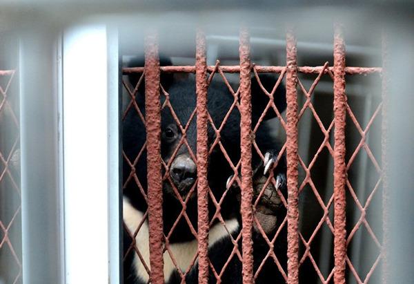 小黑熊非常可爱   再往上一个不足20平米的笼子住着一只快20岁的老年母狮。笼子外的牌子写着:非洲狮,产于非洲属大型动物,喜群居,在辽阔的草原上团结一致捕食猎物。牌子下方狮子蜷着睡觉,看上去像体型稍大的松狮。