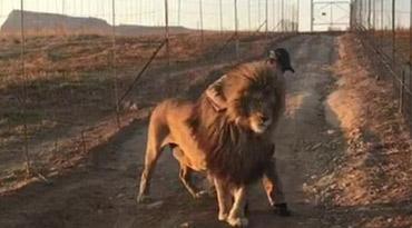 南非傲娇雄狮每天挡路中间 只为等待一个拥抱