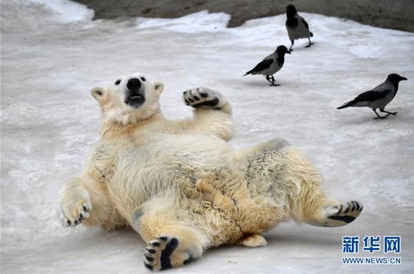 2月22日,在俄罗斯莫斯科市动物园,三只北极熊在玩耍.
