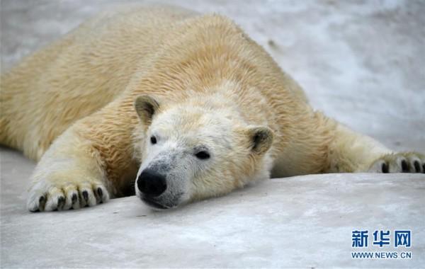 2月22日,在俄罗斯莫斯科市动物园,一只北极熊趴在冰上.