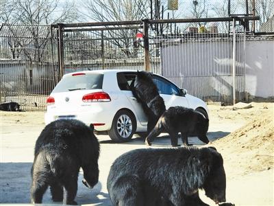 八达岭野生动物园工作人员曹先生对北京青年报记者表示确有此事,事件