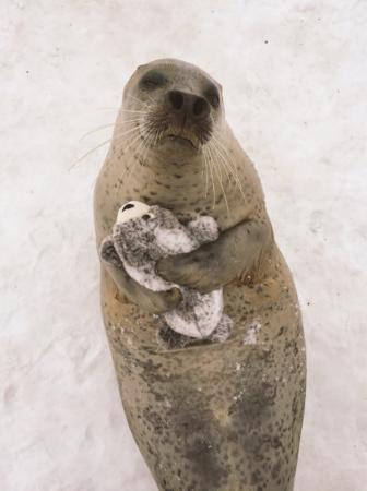 日本动物园海豹爱上迷你海豹玩偶 形影不离(组图)
