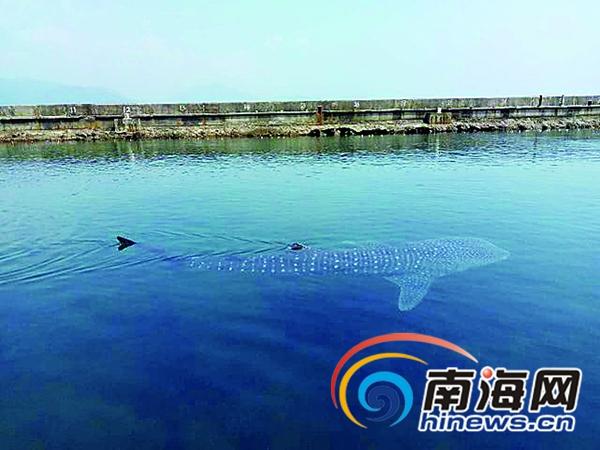 受伤鲸鲨在陵水分界洲岛得全力救助 康复后将放归大海
