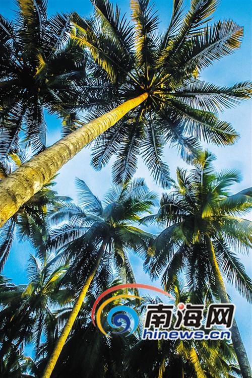 椰子树是海南岛代表性的海漂植物. 海南日报记者 苏晓杰 摄