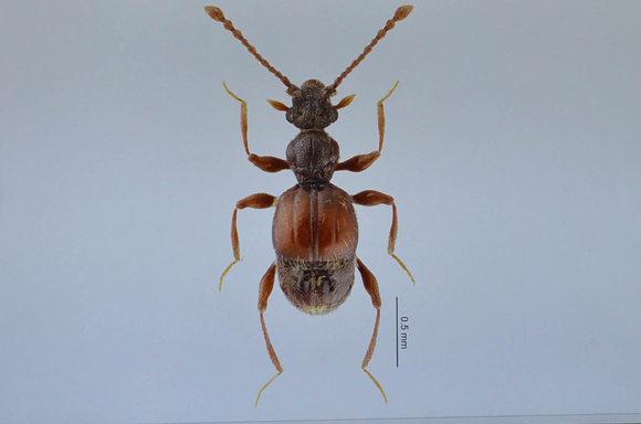 这是3月14日拍摄的西郊公园毛角蚁甲标本的放大图。   东方网记者刘晓晶3月14日报道:今天,上海师范大学宣布,该校昆虫研究室科研团队和上海动物园的技术研究人员联合在上海动物园内发现一种以前从来没被人类记载过的小甲虫,并将其命名为西郊公园毛角蚁甲。   记者了解到,上海动物园有着得天独厚的优势是上海中心城区一块植被保存较好的公园,拥有很长的历史。2015年,上海动物园开展了上海动物园资源昆虫多样性调查及在保护教育资源中的开发应用课题,同时邀请以昆虫学研究为专长的上海师范大学作为协作