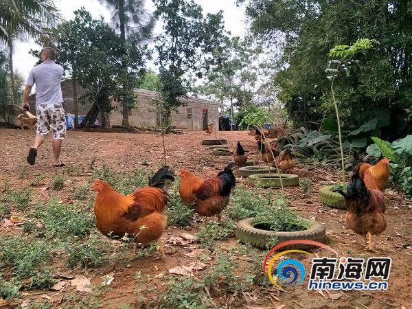 求助!澄迈一农户上千只散养鸡鹅因偏僻愁销路