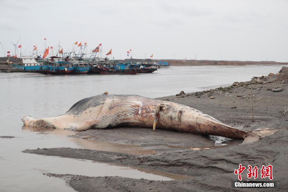 上海死亡鲸鱼被拖至岸边等待专家解剖