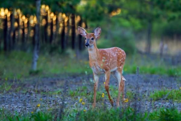 春天里最快乐的动物:加拿大渥太华,一只带斑点的小鹿.