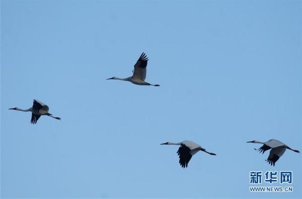 4月12日,白鹤在莫莫格国家级自然保护区上空飞翔。近日,吉林省莫莫格国家级自然保护区迎来候鸟北归高峰。据监测,目前飞抵保护区的候鸟包括白鹤、大雁、天鹅等10余种,数量达20万只。新华社记者 林宏 摄
