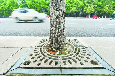 铁箅子影响树木生长 反映后全部更换